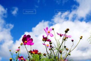 秋空とコスモスの写真・画像素材[1480019]
