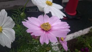花,秋,ピンク,植物,白,コスモス,道路,道端,秋桜