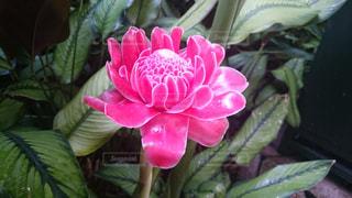花,ピンク,植物,花びら,シンガポール,ピンク色,桃色,pink