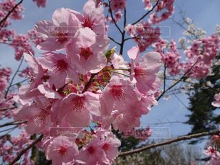 ピンクの花の写真・画像素材[1445481]