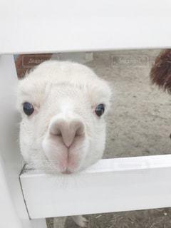 動物,白,可愛い,アルパカ,見つめる,ホワイト,哺乳類,2ヶ月