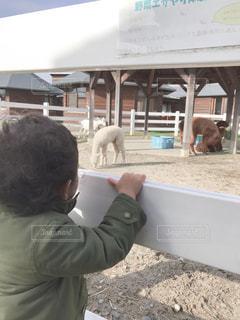 子ども,動物,屋外,女の子,人物,人,地面,アルパカ
