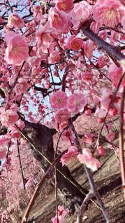 花,ピンク,梅,季節,日本,和
