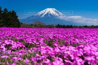 自然,空,花,富士山,屋外,ピンク,白,雲,青,芝桜,草木