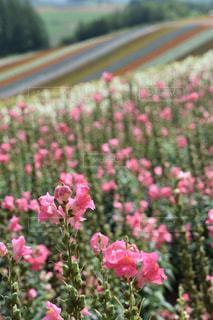 ピンク,景色,旅行,富良野,桃色,pink,ファーム富田