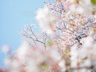 桜,ピンク,多摩川,pink,チェリーブロッサム,桜満開,多摩川土手