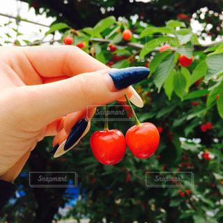手,さくらんぼ,可愛い,チェリー,赤い,さくらんぼ狩り,採れたて,新鮮さくらんぼ