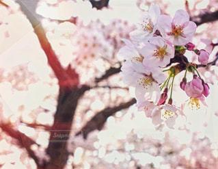 自然,春,桜,ピンク,花見,お花見,入学,入学式,卒業式,4月,さくら