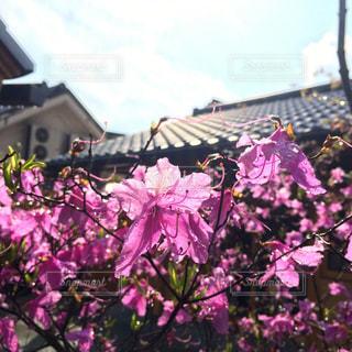 自然,花,春,ピンク,ツツジ,倉敷,4月,つつじ