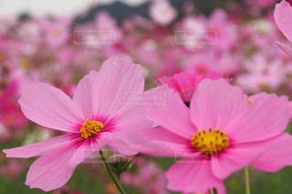 自然,花,秋,コスモス,秋桜,コスモス畑