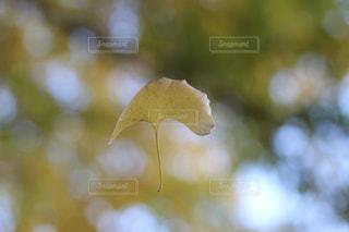 イチョウの写真・画像素材[1611610]