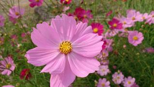 自然,ピンク,コスモス,花びら,鮮やか,コスモス畑