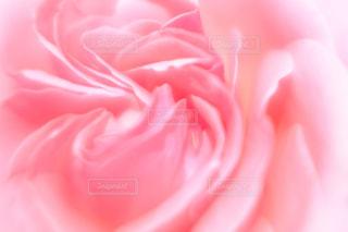 花,ピンク,バラ,花びら,薔薇,rose,pink