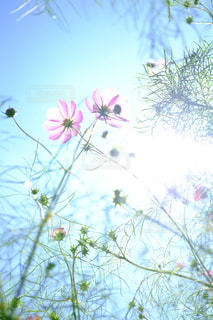 花,ピンク,植物,コスモス,青空,光,flower,秋桜,長野県,透明感