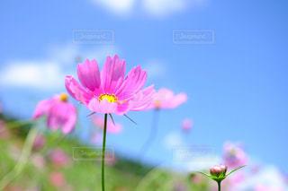 花,秋,ピンク,植物,コスモス,カラフル,きれい,晴れ,青空,秋桜