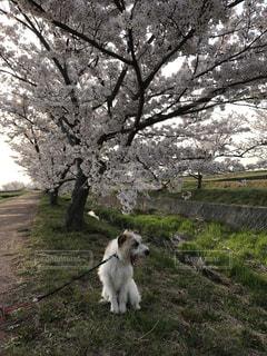 桜の前で大あくびの写真・画像素材[1454348]