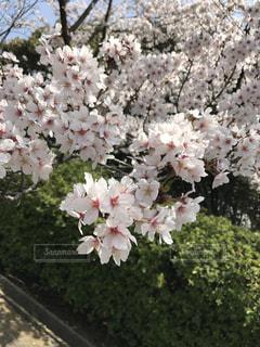 春,桜,屋外,景色,昼