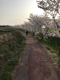 犬,春,桜,屋外,散歩,景色,ペット