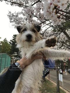 犬,春,桜,屋外,散歩,お花見,肉球,抱っこ