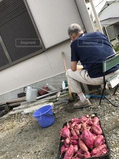 芋掘りの写真・画像素材[1480335]