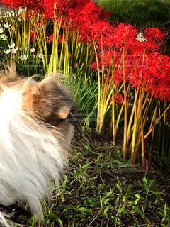犬,花,秋,屋外,赤,夕方,草,彼岸花,昆虫,蝶々,日中
