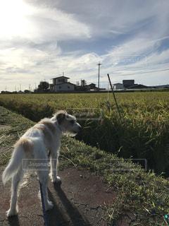 犬,空,動物,屋外,後ろ姿,草,ペット,田んぼ,日中