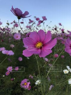 秋桜の写真・画像素材[1574722]