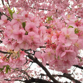 花,桜,ピンク,桃色