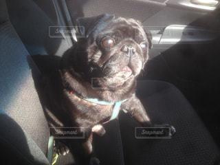 パグ,車内,変顔,ビックリ