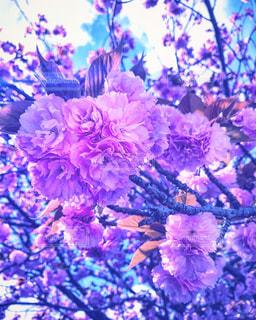 桜,京都,ピンク,ピンク色,桃色,pink,出町柳