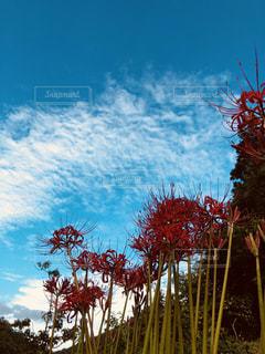 自然,空,花,秋,緑,植物,赤,雲,綺麗,彼岸花