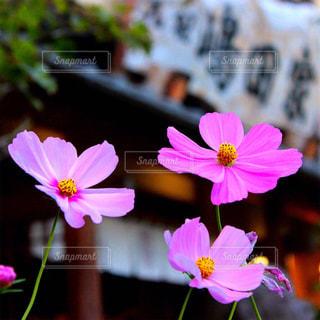 近くの花のアップの写真・画像素材[1455283]