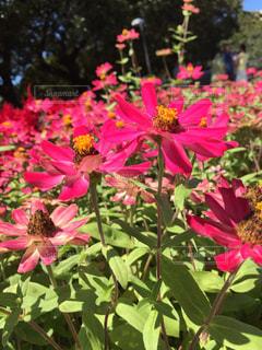 花,屋外,ピンク,シドニー