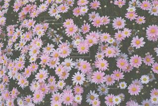 Pink Pink Pinkの写真・画像素材[1449675]
