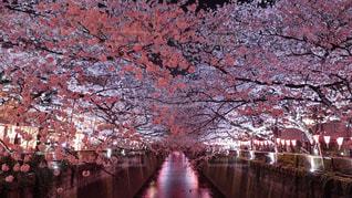 桜,ピンク,フラワー,サクラ,flower,pink,さくら,cherryblossom