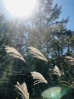 空,秋,木,太陽,森,青空,長野県,秋空,すすき,陽ざし