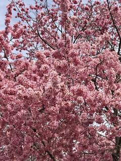 桜,ピンク,神社,樹木,長徳寺