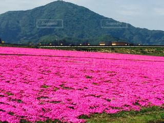 自然,風景,ピンク,綺麗,癒し,芝桜,福井県