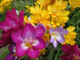 クロッカスの花三色の写真・画像素材[1537613]