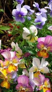 色とりどりの花の写真・画像素材[1537745]