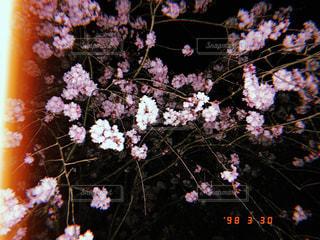 桜,夜,ピンク,桃色,pink
