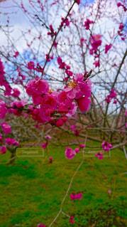 花,春,ピンク,梅,pink,3月