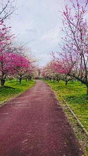 花,春,ピンク,梅,散歩,道,梅林,pink,3月