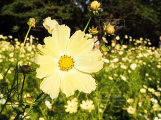自然,花,秋,コスモス,黄色,秋桜,Autumn,オータム,コスモスの花,kon19