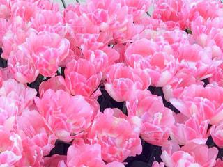 自然,花,花畑,ピンク,チューリップ,チューリップ畑,ピンク色,桃色,pink,ぴんく,もも色,ぴんく色,kon19