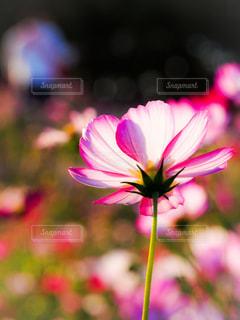 自然,花,ピンク,コスモス,秋桜,ピンク色,桃色,pink,裏側,ぴんく,こすもす,ぴんく色,kon19