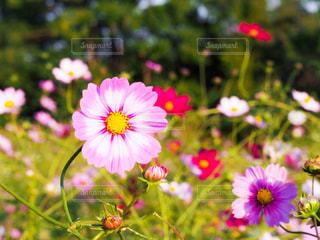 自然,花,ピンク,コスモス,秋桜,ピンク色,pink,ぴんく,こすもす,もも色,ぴんく色,kon19