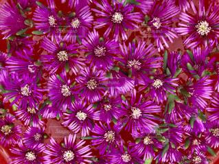 花,ピンク,カラフル,紫,鮮やか,多肉植物,草木,おままごと,複数