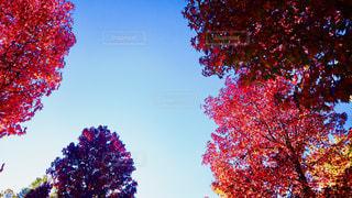 空,秋,紅葉,木,晴れ,枯れ木,Sky,グラデーション,秋空,秋色