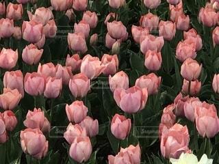 自然,花,ピンク,チューリップ,草木